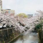 石神井川桜並木